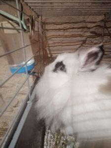 Conejo_blanco_bebiendo_agua de bebedero automatico tipo chupete