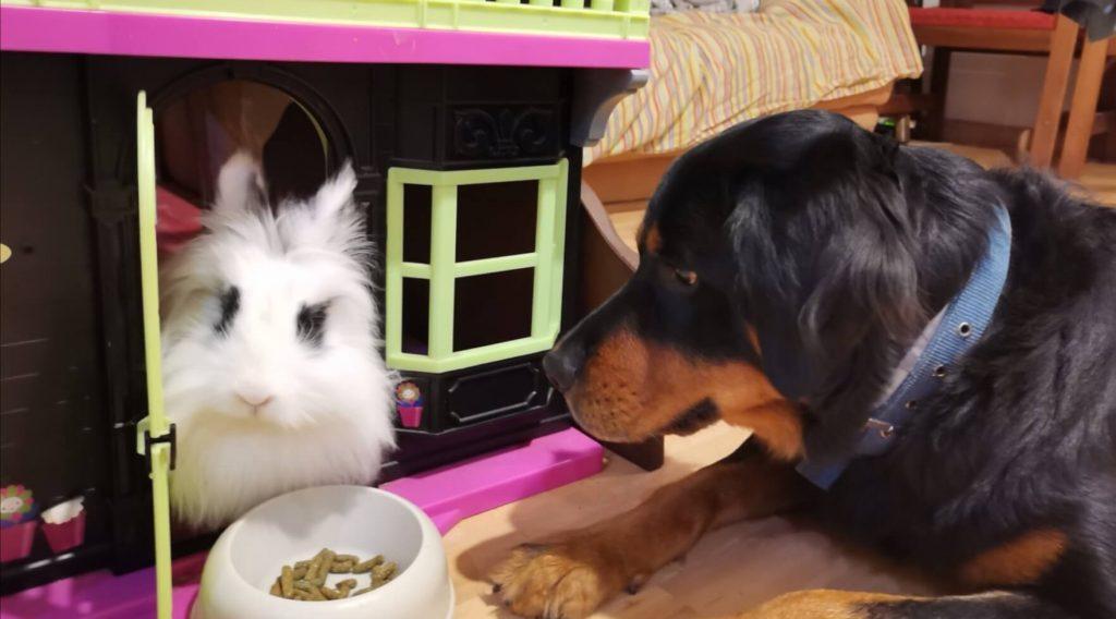 Conejo_blanco_con_perro_negro[1]