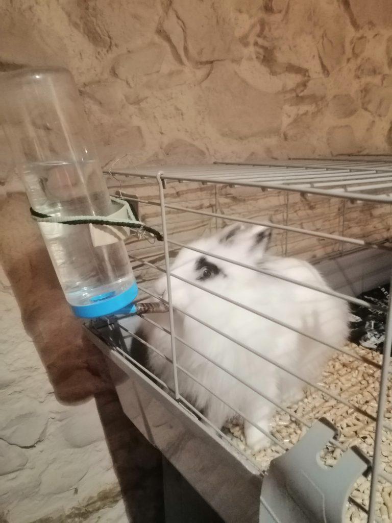 conejo blanco y negro bebiendo agua en bebero automatico