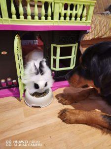 conejo_blanco_y_negro_comiendo_pienso[1]