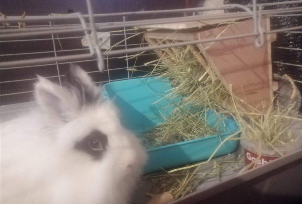 conejo blanco y negro junto a henera llena de heno timothy