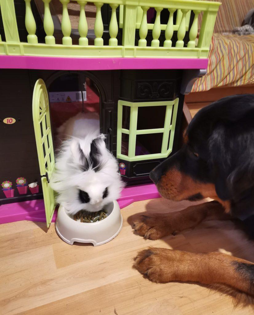 conejo blanco y negro comiendo mejor pienso para conejos pellets mientras perro mira
