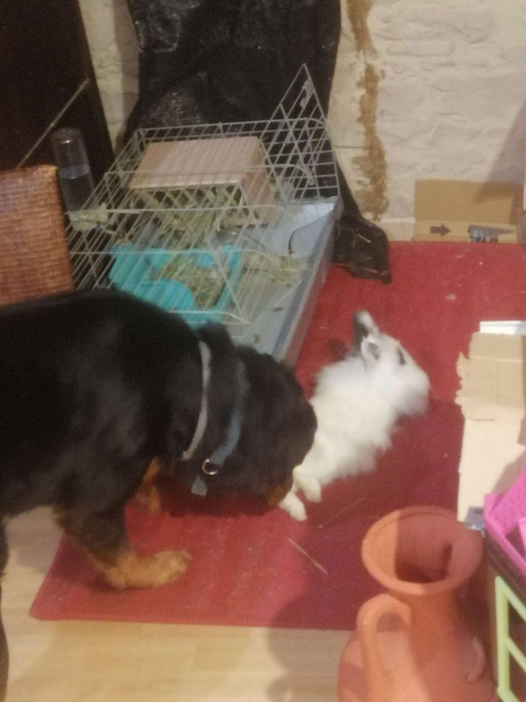 perro_comiendo_cecotrofos_de_conejo_blanco_y_negro[1]