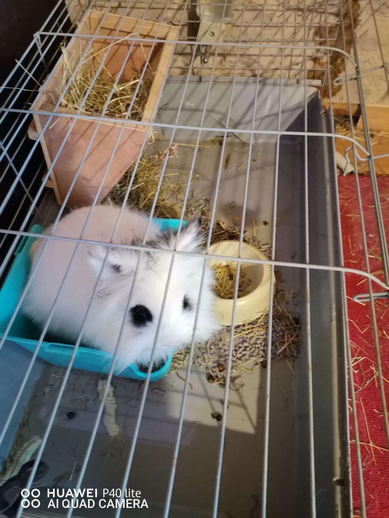 Conejo_blanco_y_negro_en_jaula[1]