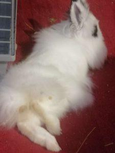 conejo blanco y negro mostrando sus patas uñas traseras